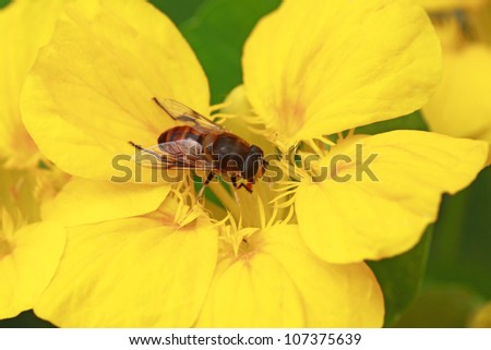 Close up a  bee and  yellow  flower