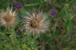 close-up: a bunch of spiny plumeless thistle two spiny dry and two purple flowers