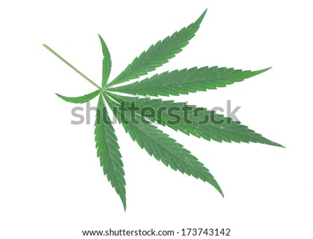 close up a cannabis leaf isolated on white background
