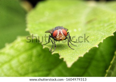 Close up a House fly, Fly, Flies on leaf