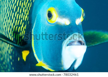 Close up a large French Angelfish in blue water.