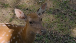 Close-up: a Spotted young wild deer lies on the ground in the sunlight and looks at the camera. Wild hoofed animals rest in nature, in the open air. An animal in nature. Slow motion, 4K