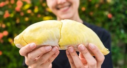 Close up A woman handle durian show the yellow durian meat to eat. The durian is a king of fruit of Thailand.