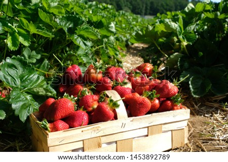 Close up a wooden chip basket full of freshly picked big bright red strawberries in an organic pick-your-own farm. Self-picking delicious juicy and healthy summer fruit.
