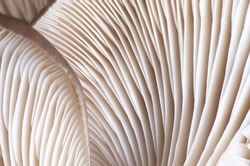 Close-up abstract background of oyster mushrooms texture. Selective focus.
