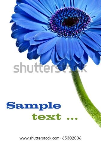gerbera daisy blue