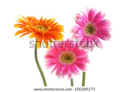 Close up abstract of colorful orange and pink daisy gerbera flower