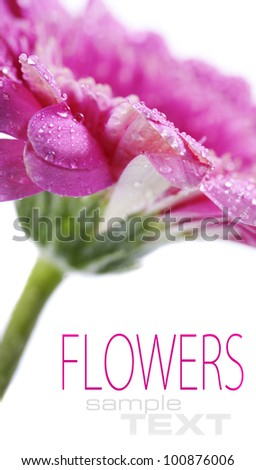 Close up abstract of colorful pink daisy gerbera flower(with sample text)