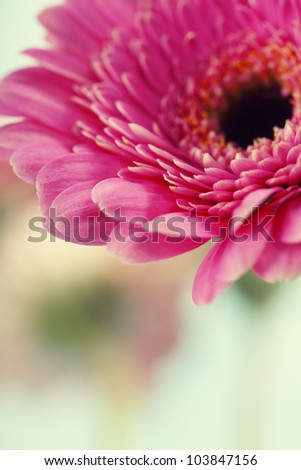 Close up abstract of colorful pink daisy gerbera flowers