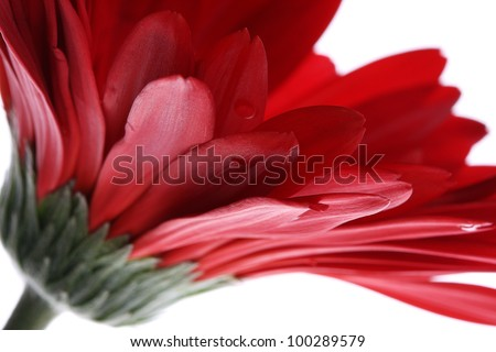 Close up abstract of colorful red daisy gerbera flower