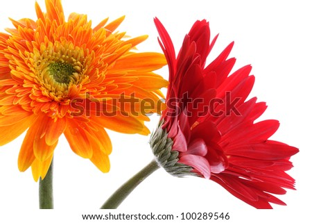 Close up abstract of colorful yellow and red daisy gerbera flower