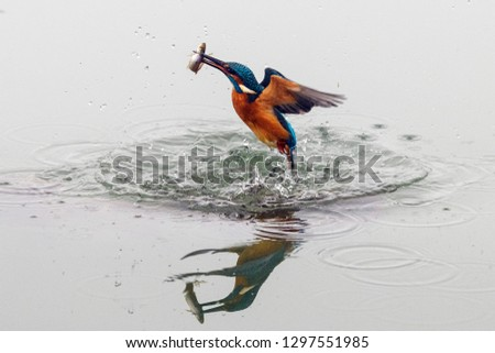 Close up action photo of a common kingfisher (Alcedo atthis) with fish in its beak. Also known as the Eurasian kingfisher, and river kingfisher.