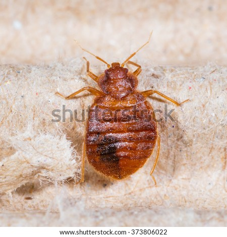 Close up adult cimex lectularius on corrugated recycled paper, bedbug, blood sucker