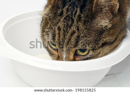 close-up adult tabby cat eats from a white bowl on a white background studio