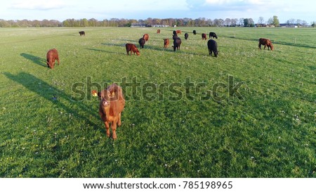Shutterstock Close up aerial photo of Aberdeen Angus cattle showing young funny looking cow looking curious into camera while other cows are grazing the fresh green grass beautiful summer evening farm scene