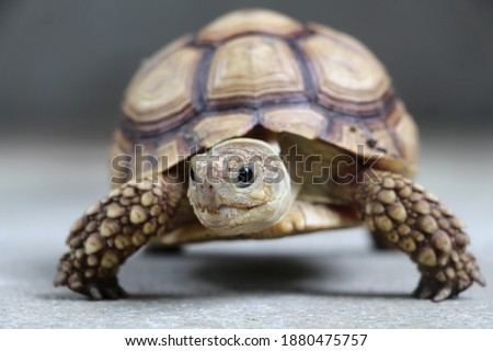Close up African spurred tortoise resting in the garden, Slow life ,Africa spurred tortoise sunbathe on ground with his protective shell ,Beautiful Tortoise Stock photo ©