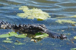 Close Up Alligator Head Swimmin in Blue Water with Green Algae and Lily Pads in Natural Habitat Swamp Animals Dangerous Reptiles Wetlands Ecosystem Outdoor Nature Conservation Park Refuge Zoo
