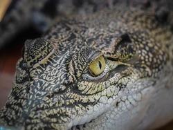 Close up Alligator or crocodile animals eyes.