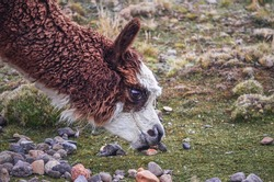 Close-up alpaca eating in middle of mountain valley of Colca region, Peru. Southamerican landscape and fauna. Pasture and feed