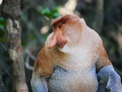 Close up alpha male proboscis monkey (Nasalis larvatus) in territorial tance, Tarakan, Indonesia.