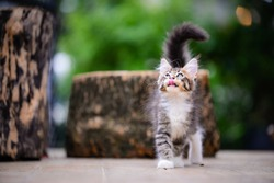 Close up an adorable silver blue kitten walking on a wooden floor blurry background by green garden. Gray-white cat in outdoor looking something. Cat tongue out