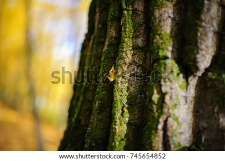 Close up an old tree bark with one yellow leaf and green moss on a background of autumn forest.