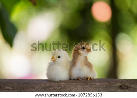Close up and beautiful yellow and brown chicks on friend in family that are on wooden floor or timber on green or natural background for concept design and decorative workings, Two little chickens #1072856153