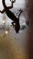close up and bokeh photo lizard action in a glass window while drinking water vapor