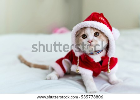 Close-up and face focus of a cute cat (scottish fold) wearing Santa Claus costume.
