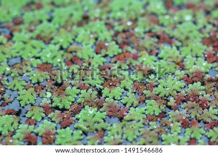 Close up and seclective focus of Azolla fern (Mosquito fern, Water fern) #1491546686