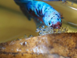Close up and selective focus on The face of Ikan cupang or Betta Fish when making bubble nest under the Terminalia Cattapa leaf in the aquarium.