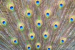 Close up and soft focus of the texture and pattern of the loose open tail of a peacock with beautiful feathers. Background for design and decoration