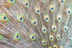 Close up and soft focus of the texture and pattern of the loose open tail of a peacock with beautiful feathers. Toned brown background with muted colors.