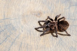 Close up and top view of brachypelma albopilosum spider on brown wood slice. Pet, background
