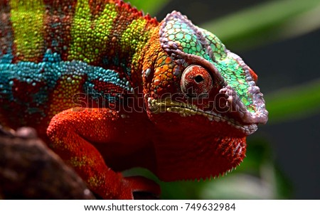 Close up animal portrait photo of chameleon lizard changing color of skin
