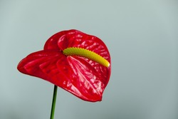 Close-up anthurium flower. A flower in red and yellow colors. The allure of the red plant.