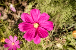 close up arrangement of violet yellow green cosmea, cosmos flowers flower blossoms with colorful heads on a bush or plant in garden nature with leafs in summer sun