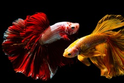 Close up art movement of Betta fish,Siamese fighting fish isolated on black background,Asia, Thailand, Fine Art Painting, Black Background, Animal,Colorful betta(siam fighting fish)