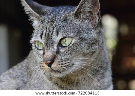 Close up Asian cat #722084113
