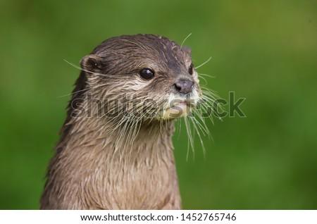 Close up Asian Short Clawed Otter (Amblonyx cinerea)