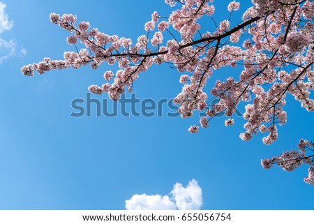 close up at pink sakura or cherry blossom branch extending to the top of the picture with the blue sky and white cloud as a backdrop, beatiful naturally for background