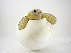 Close up Baby Tortoise Hatching (African spurred tortoise),Birth of new life