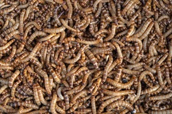 Close Up Background of  Meal Worm