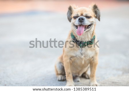 Close-up background view of the small dog Pomeranian, with a playful character and likes to play with the owner, with blurred movements while waiting for food. #1385389511
