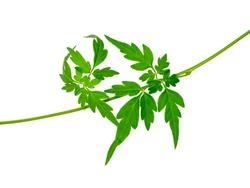 Close up Balloon vine plant leaves on white background. (Scientific name Cardiospermum halicacabum)