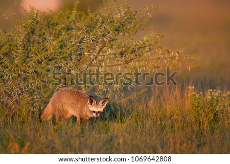 Close up Bat-eared fox, Otocyon megalotis, small african carnivore in its typical environment, arid savanna in dusk, staring directly at camera. African wildlife photography, Nxai Pan, Botswana