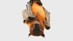 Close up bat hanging upside down on the tree. Corona virus or Covid-19 concept, soft focus