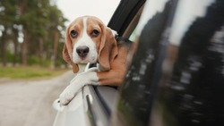 Close up beagle dog riding a car and putting head out of window and watching outside look around fun suburb travel nature vacation curious cute animal pet fresh trip vehicle enjoy adorable slow motion