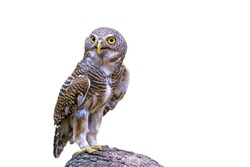 Close up beautiful bird  Asian Barred Owlet (Glaucidium cuculoides) is a species of true owl standing on branch isolated on white background.Saved with clipping path.