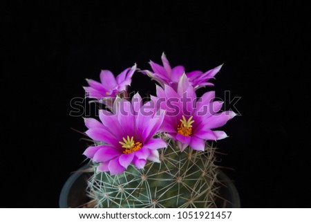 Close up beautiful blooming cactus flowers on black